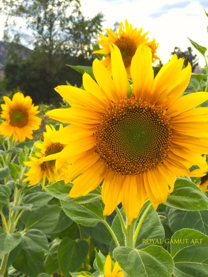 Hello October Sunflower Boulder Community Garden