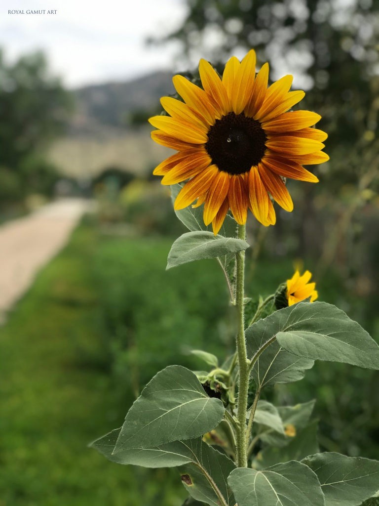 Sunflower standing all along side of the path to the future.