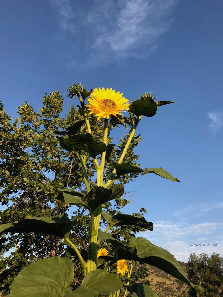 Sunflower Boulder garden early morning July 17, 2020
