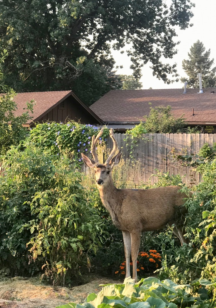 Deer in the community garden Boulder Colorado