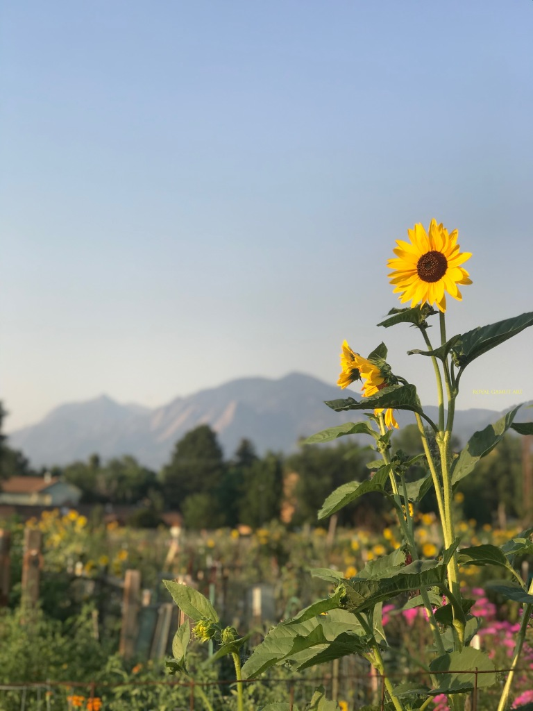 Sunflower in the sunrise at the community garden Boulder Colorado