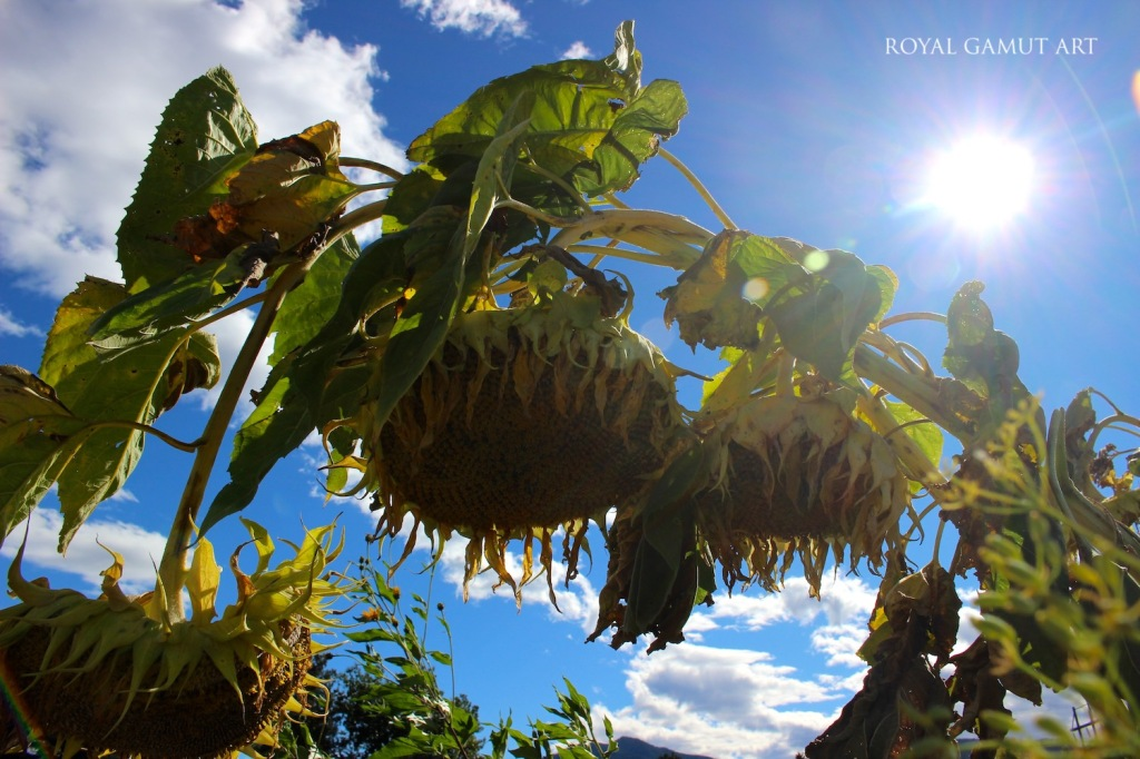 Sun shining on withering sunflowers in autumn