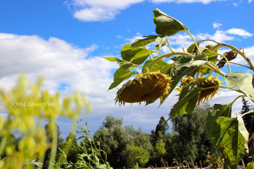 dying sunflowers under bright blue skies